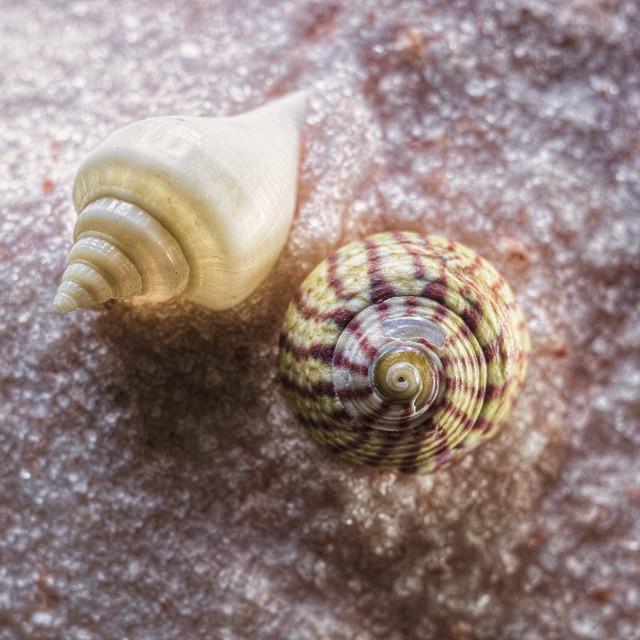 """Sea Shells"" stock image"
