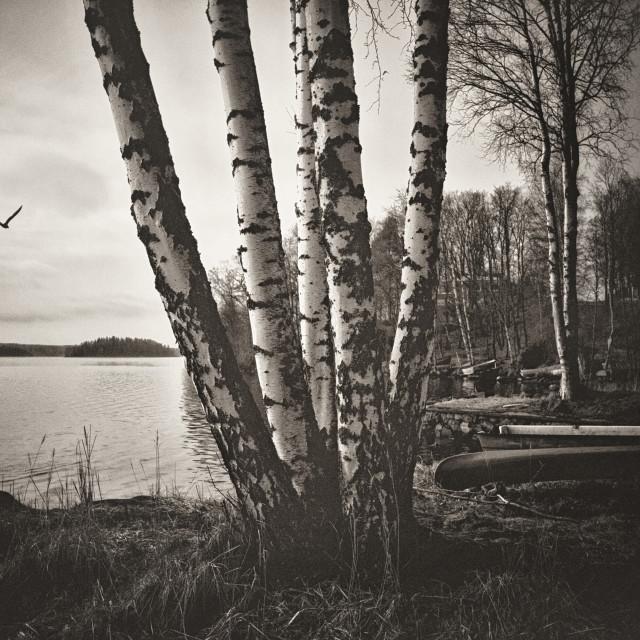 """""""Birch Trees"""" stock image"""
