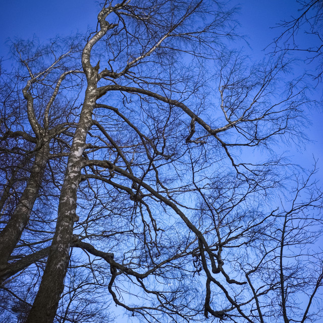 """Birch Tree"" stock image"