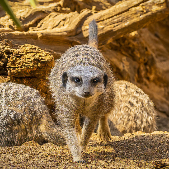 """""""Meerkat from Colchester Zoo, UK."""" stock image"""