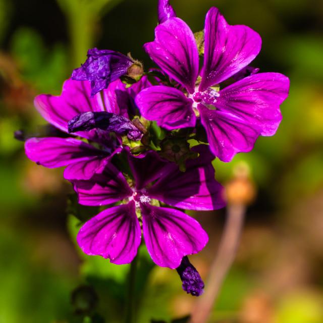 """""""Purple summerflowers"""" stock image"""