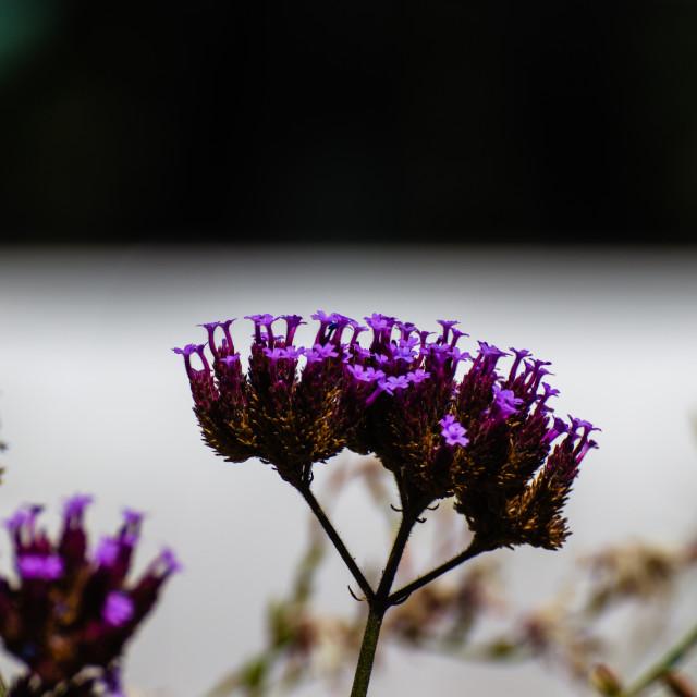 """Purple flowers"" stock image"