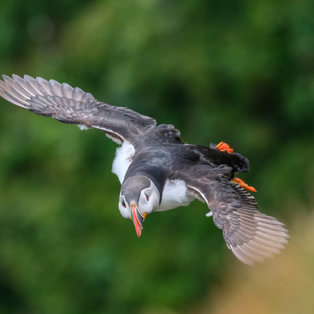 """""""Puffin Flying Landscape"""" stock image"""