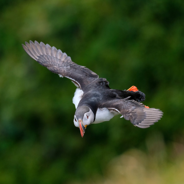 """""""Puffin Flying Portrait"""" stock image"""
