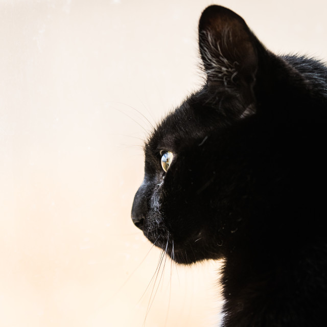 """""""Black cat looking out the window"""" stock image"""