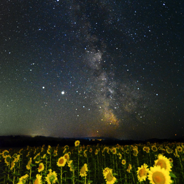 """Illuminating Sunflowers and The Milky Way"" stock image"