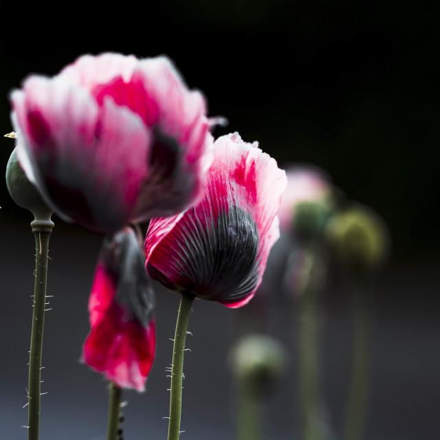 """""""Poppy's in Bloom, Cambridge UK."""" stock image"""