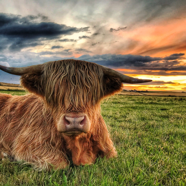 """""""Angus loves a sunsets"""" stock image"""