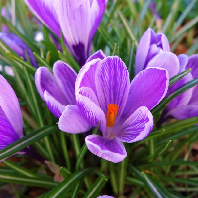 """Spring Crocus."" stock image"