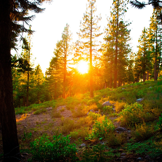 """""""Sunset through trees in forest"""" stock image"""
