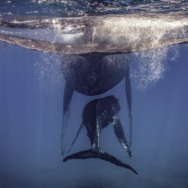 """""""Mother and Calf Humpback"""" stock image"""