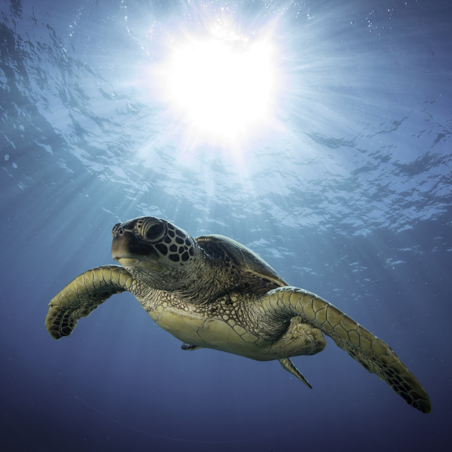 """""""Hovering Honu"""" stock image"""