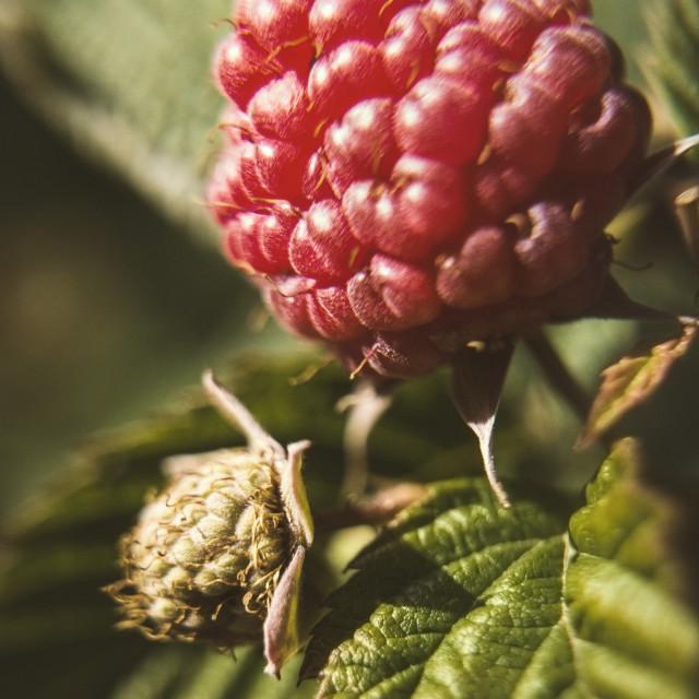 """""""Raspberry"""" stock image"""