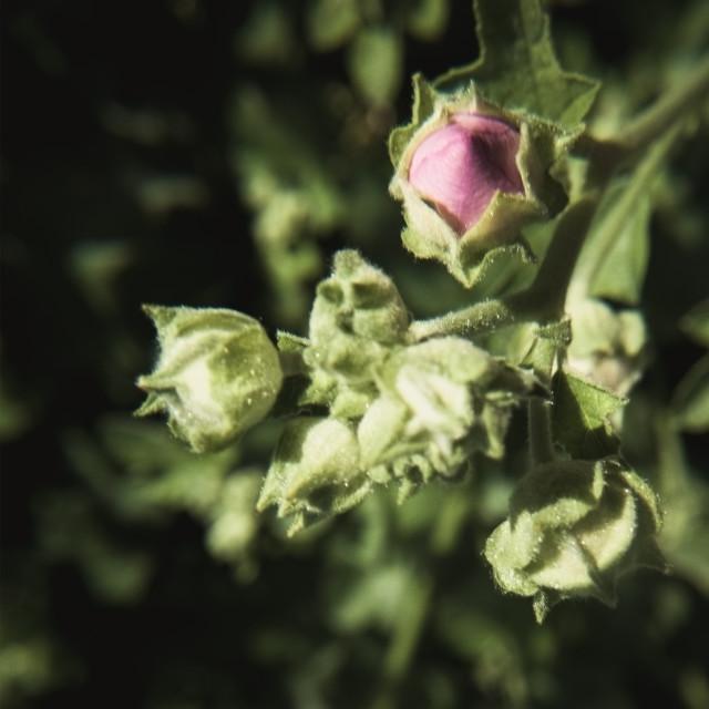 """Pink Bud"" stock image"