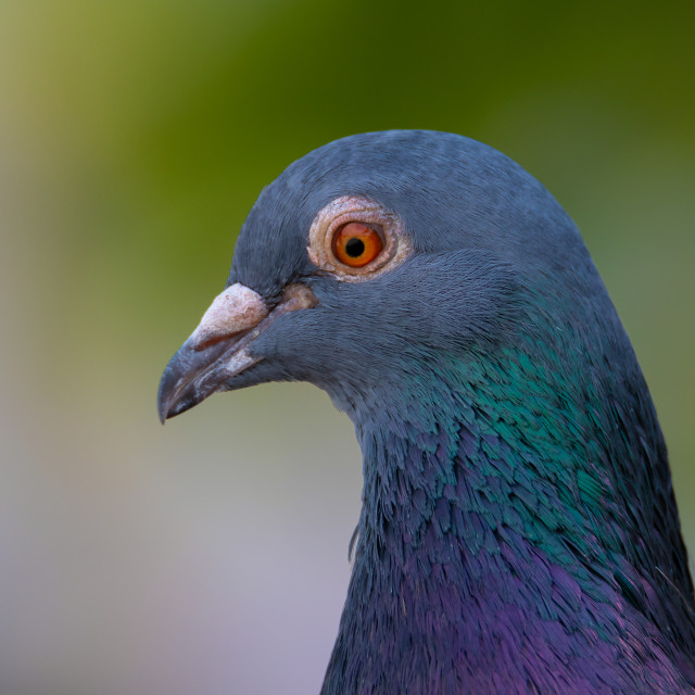 """Domestic pigeon"" stock image"