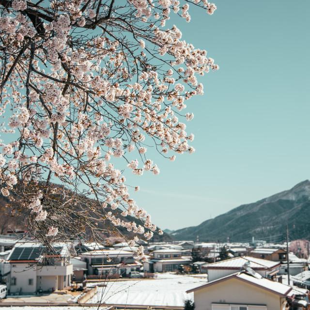 """""""Spring Snow in Japan"""" stock image"""