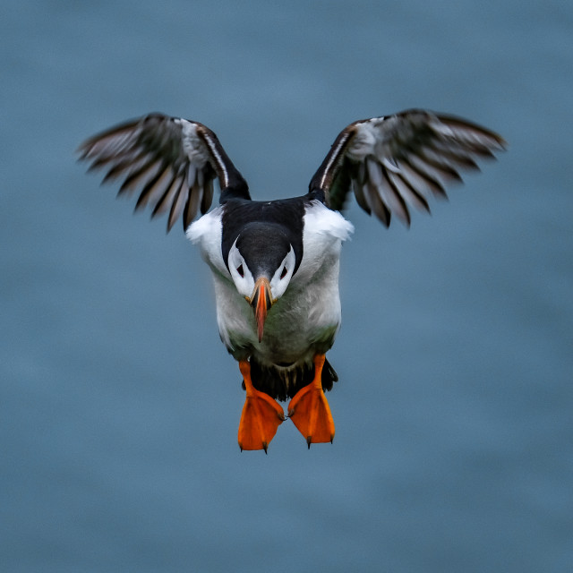 """""""Puffin Coming in for Landing in Ingólfshöfði Air Space"""" stock image"""