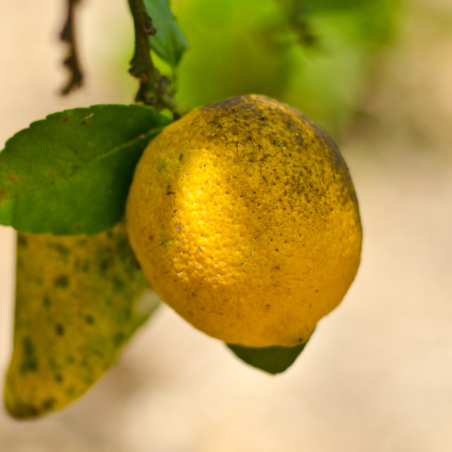 """Lemon"" stock image"