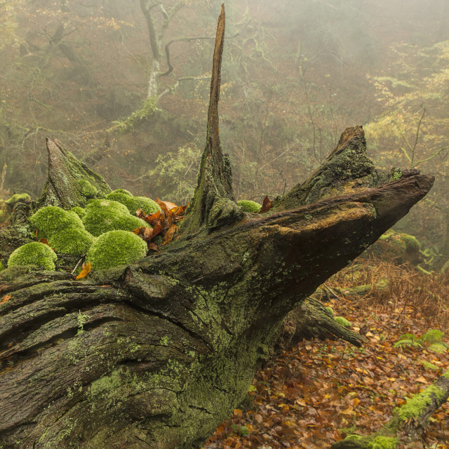 """Treeceratops"" stock image"