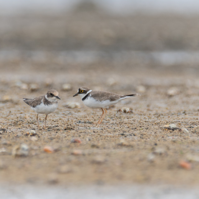 """Little Ringed Plovers"" stock image"