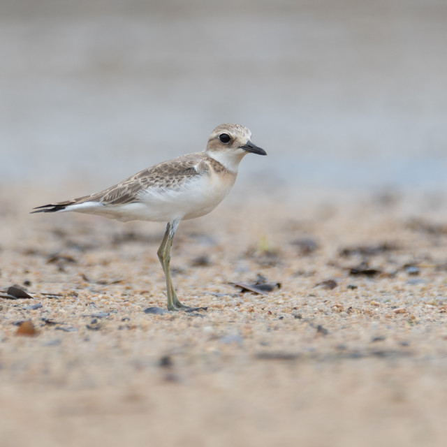 """Greater sand plover"" stock image"