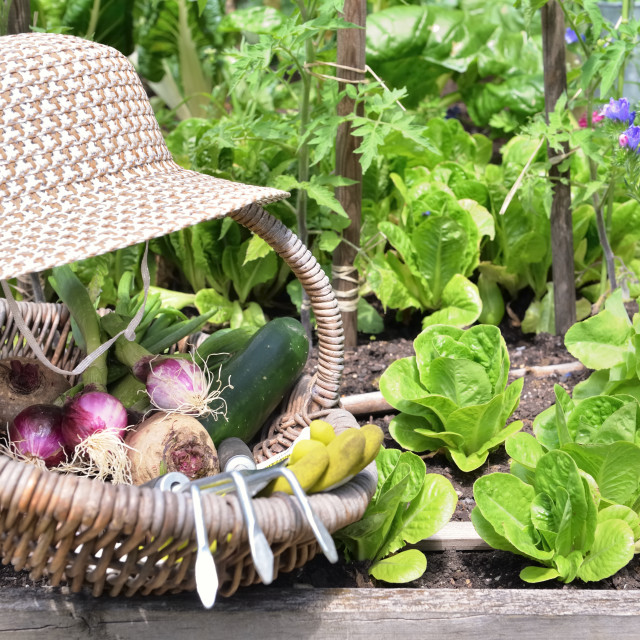 """fresh vegetable in a wicker basket with hat placed in a flowered vegetable garden"" stock image"