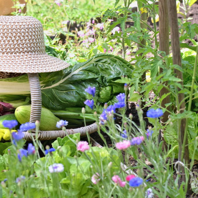 """fresh vegetables in a wicker basket with hat placed in a flowered vegetable garden"" stock image"