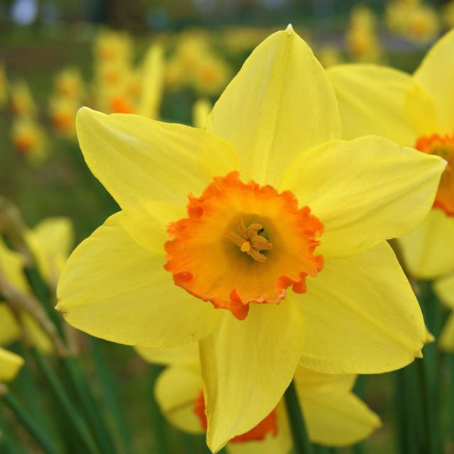 """Spring Daffodils."" stock image"
