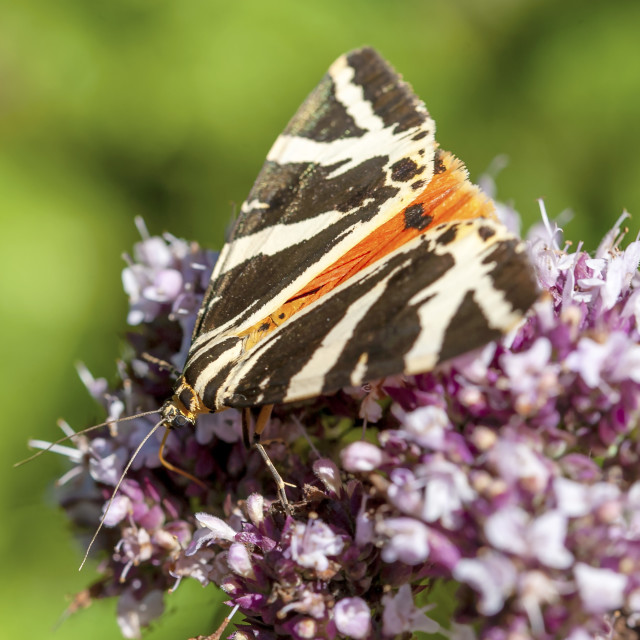 """Jersey Tiger Moth"" stock image"