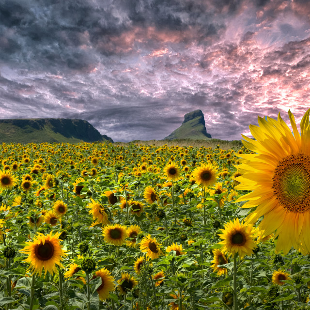 """Sunflowers on the Gower peninsula"" stock image"