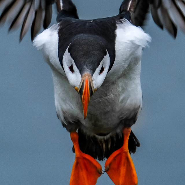 """""""Puffin Coming In For Landing In Ingolfshofdi Air Space Cropped"""" stock image"""