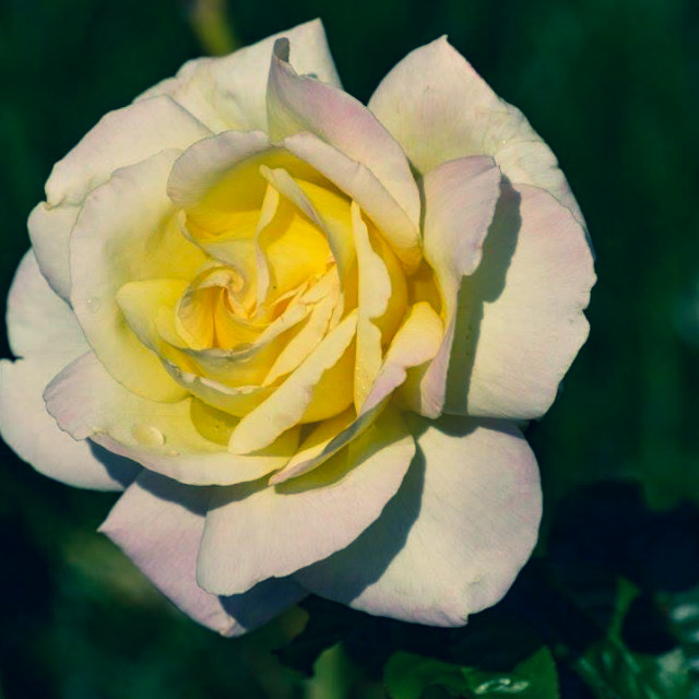 """""""Rose in the Cold"""" stock image"""