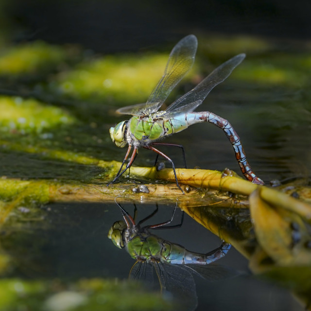 """""""Emperor dragonfly, Anax imperator dragonfly, Andalusia, Spain"""" stock image"""