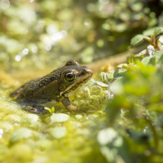 """""""Iberian water frog, Pelophylax perezi in green water, Andalusia, Spain"""" stock image"""