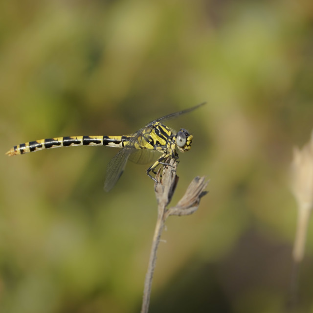 """""""Large pincertail or blue-eyed hook-tailed dragonfly"""" stock image"""