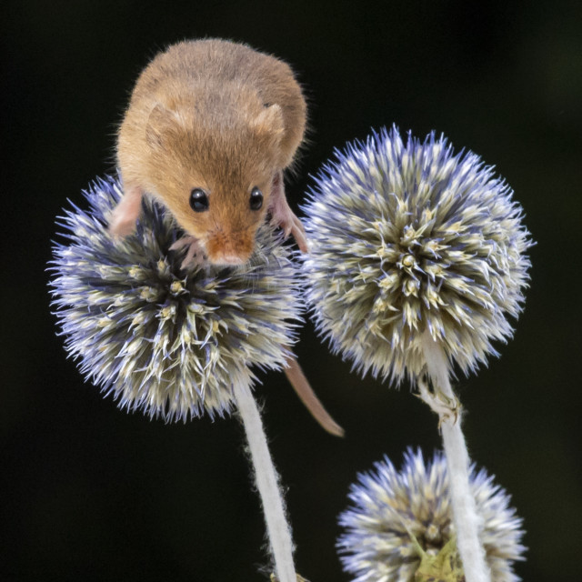 """""""Harvest Mouse"""" stock image"""