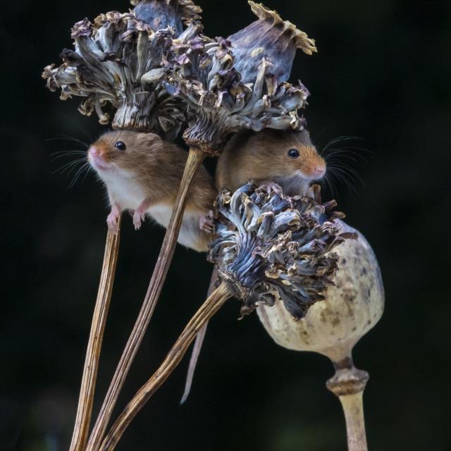 """Harvest Mice on poppy seeds"" stock image"