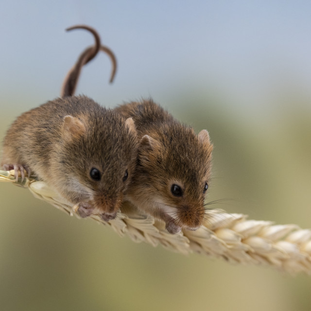 """""""Two Harvest Mice."""" stock image"""