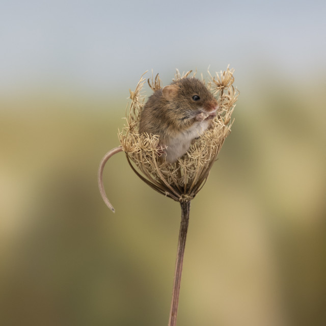 """""""A Harvest mouse."""" stock image"""