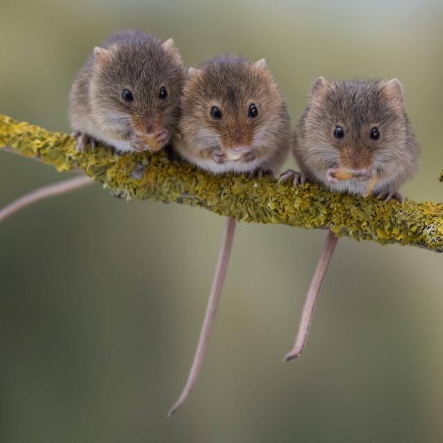 """Three Harvest Mice."" stock image"