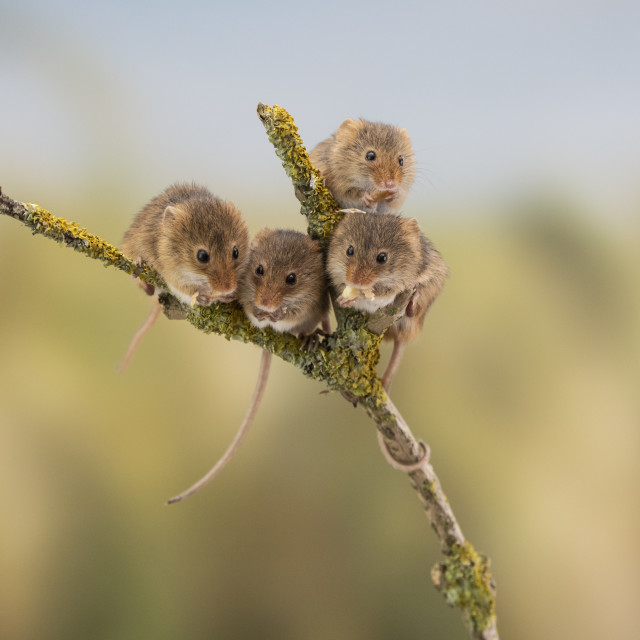 """Four Harvest Mice."" stock image"