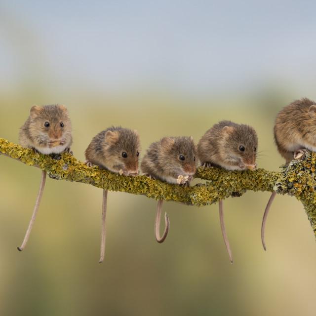 """Five Harvest Mice"" stock image"