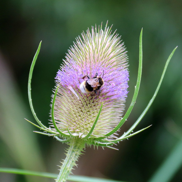 """Bee on a teasel."" stock image"