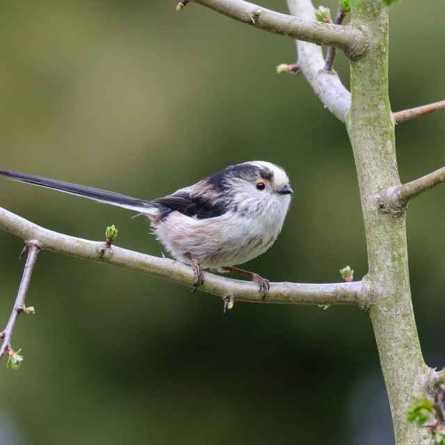 """""""Long-tailed Tit"""" stock image"""