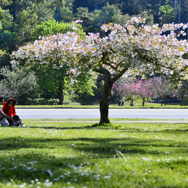 """""""Blossoming trees"""" stock image"""