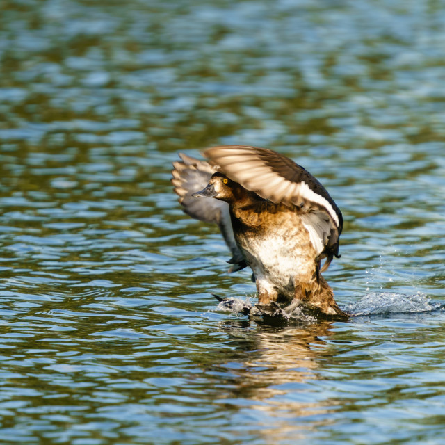 """Female Tufted Duck (Aythya fuligula)touching down on a pond, taken in Londo,..."" stock image"
