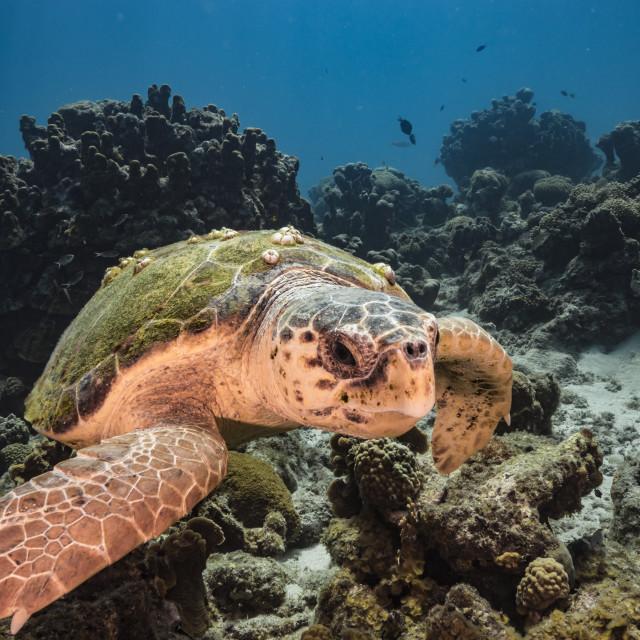 """Loggerhead Sea Turtle in swim in turquoise water of coral reef in Caribbean Sea"" stock image"