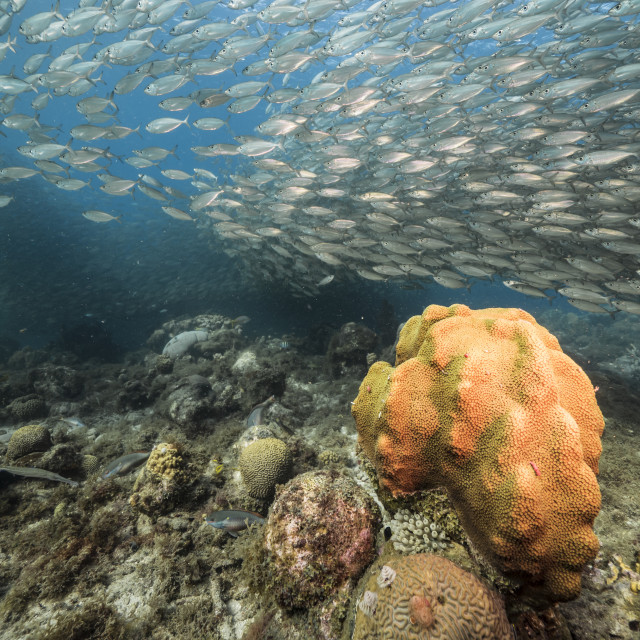 """""""Bait ball / school of fish in shallow water of coral reef with big Coral in Caribbean Sea / Curacao"""" stock image"""