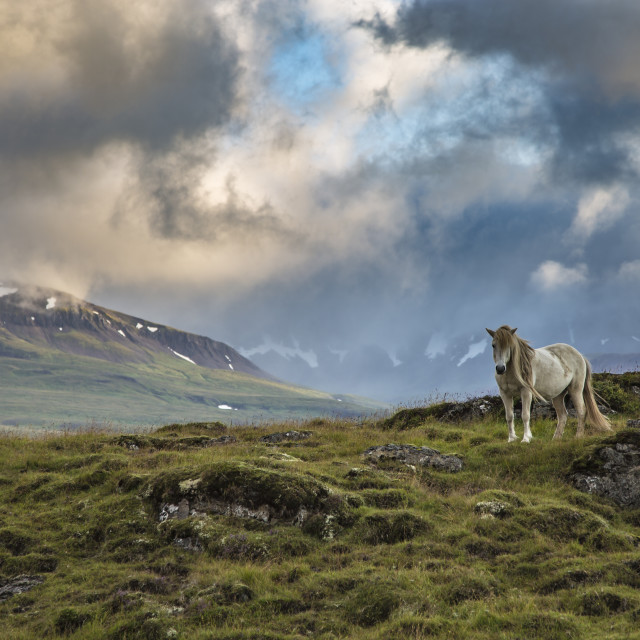 """""""Beautiful scenery with white horse - Iceland - Europe"""" stock image"""