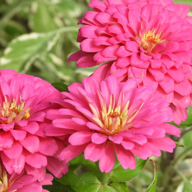 """""""Triple Pink Zinnias"""" stock image"""